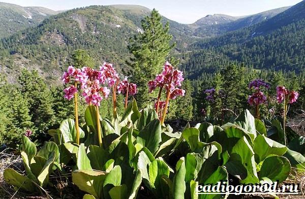 Бадан-растение-Описание-особенности-виды-и-уход-за-баданом-2