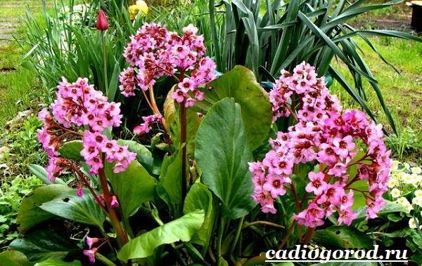 Бадан-растение-Описание-особенности-виды-и-уход-за-баданом-7