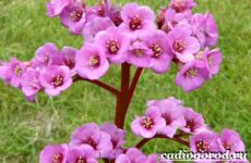 Бадан растение. Описание, особенности, виды и уход за баданом