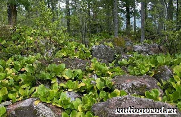 Бадан-растение-Описание-особенности-виды-и-уход-за-баданом-9