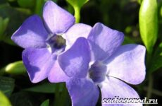 Барвинок цветок. Описание, особенности, виды и уход за барвинком