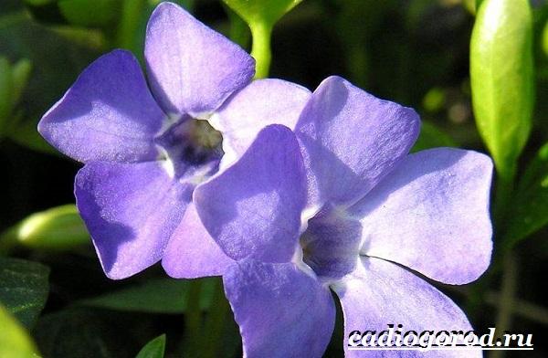 Барвинок-цветок-Описание-особенности-виды-и-уход-за-барвинком-10