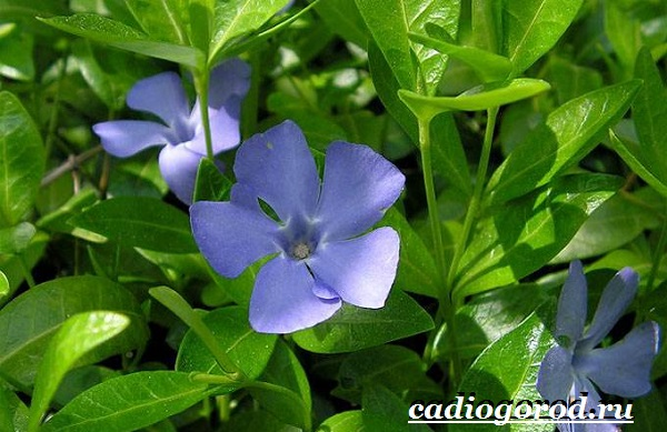 Барвинок-цветок-Описание-особенности-виды-и-уход-за-барвинком-2