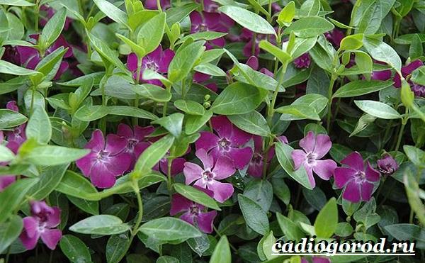 Барвинок-цветок-Описание-особенности-виды-и-уход-за-барвинком-7
