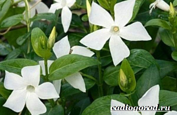 Барвинок-цветок-Описание-особенности-виды-и-уход-за-барвинком-8