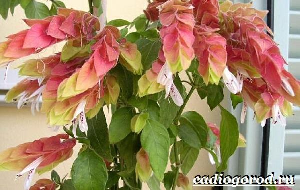 Белопероне цветок. Описание, особенности, виды и уход за белопероне-10