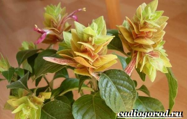 Белопероне цветок. Описание, особенности, виды и уход за белопероне-13