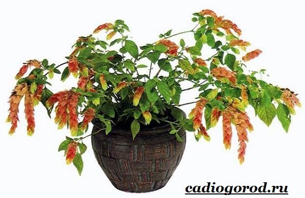 Белопероне цветок. Описание, особенности, виды и уход за белопероне-20