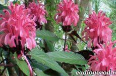 Белопероне цветок. Описание, особенности, виды и уход за белопероне