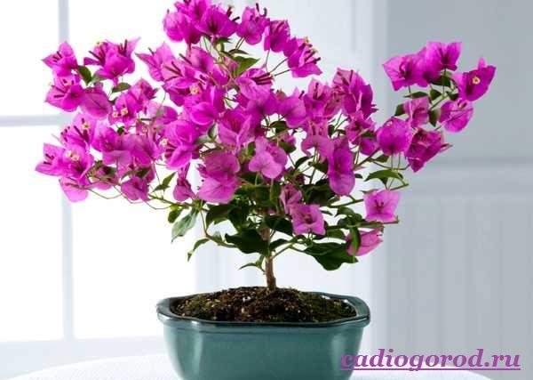 Бугенвиллия-цветок-Описание-особенности-виды-и-уход-за-бугенвиллией-13