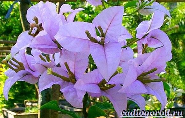 Бугенвиллия-цветок-Описание-особенности-виды-и-уход-за-бугенвиллией-14
