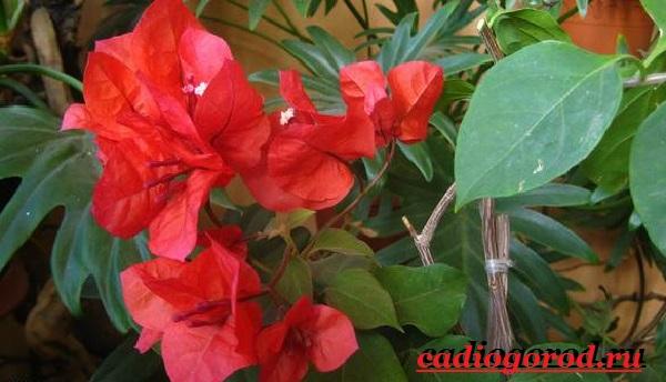 Бугенвиллия-цветок-Описание-особенности-виды-и-уход-за-бугенвиллией-15