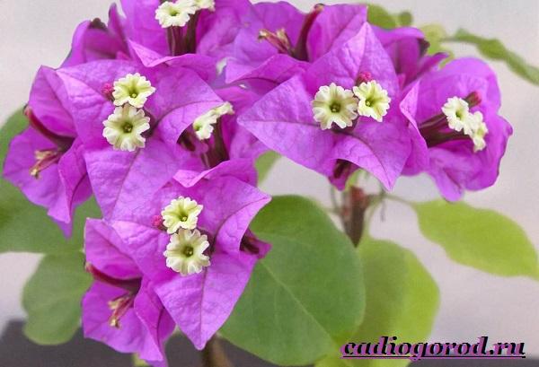 Бугенвиллия-цветок-Описание-особенности-виды-и-уход-за-бугенвиллией-17