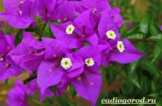 Бугенвиллия цветок. Описание, особенности, виды и уход за бугенвиллией