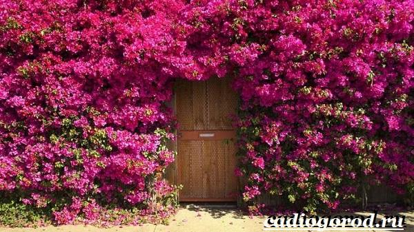Бугенвиллия-цветок-Описание-особенности-виды-и-уход-за-бугенвиллией-3