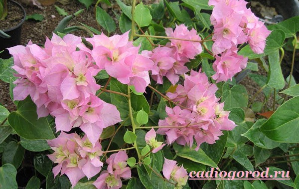 Бугенвиллия-цветок-Описание-особенности-виды-и-уход-за-бугенвиллией-6