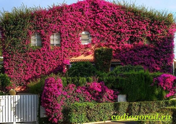 Бугенвиллия-цветок-Описание-особенности-виды-и-уход-за-бугенвиллией-9