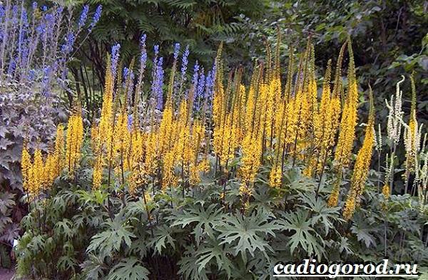 Бузульник-растение-Описание-особенности-виды-и-уход-за-бузульником-1