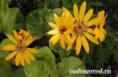 Бузульник растение. Описание, особенности, виды и уход за бузульником