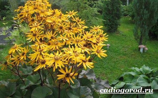 Бузульник-растение-Описание-особенности-виды-и-уход-за-бузульником-12