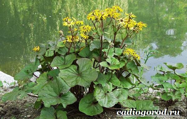 Бузульник-растение-Описание-особенности-виды-и-уход-за-бузульником-3