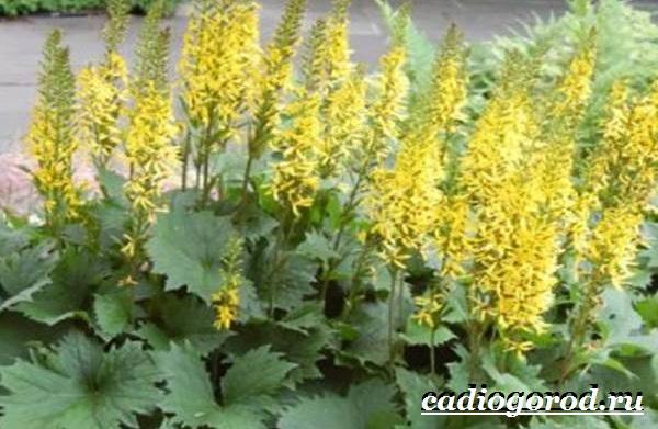 Бузульник-растение-Описание-особенности-виды-и-уход-за-бузульником-5
