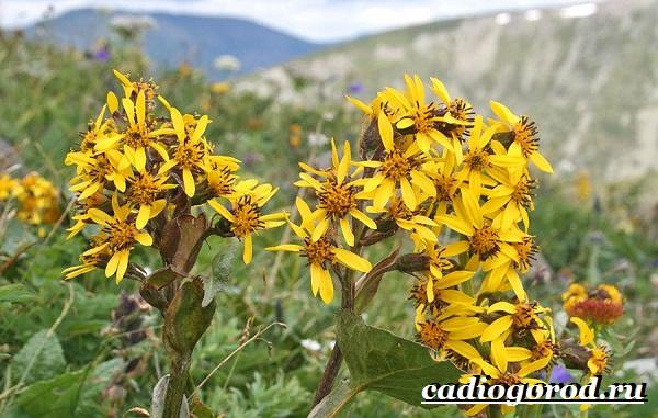 Бузульник-растение-Описание-особенности-виды-и-уход-за-бузульником-7