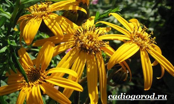 Бузульник-растение-Описание-особенности-виды-и-уход-за-бузульником-9