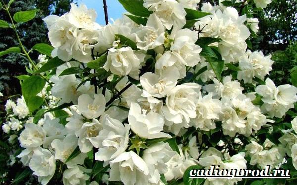 Чубушник-цветок-Описание-особенности-виды-и-уход-за-чубушником-11