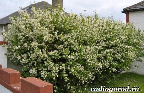 Чубушник-цветок-Описание-особенности-виды-и-уход-за-чубушником-13