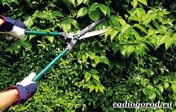 Чубушник-цветок-Описание-особенности-виды-и-уход-за-чубушником-15