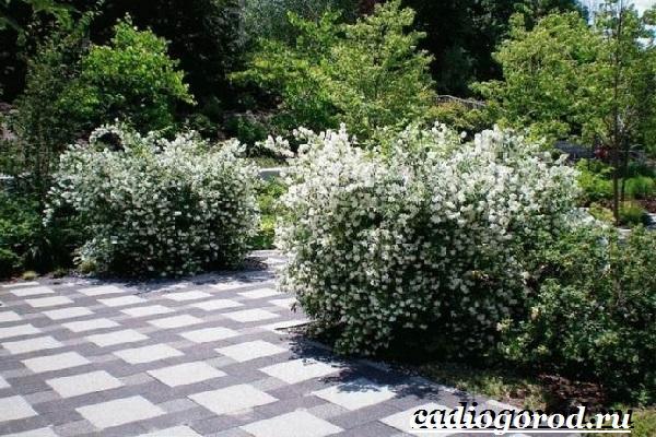 Чубушник-цветок-Описание-особенности-виды-и-уход-за-чубушником-17