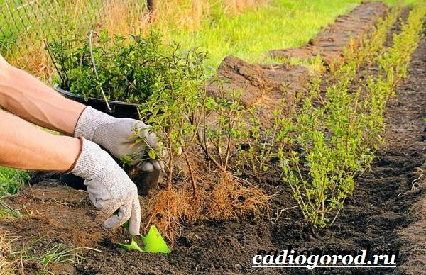 Чубушник-цветок-Описание-особенности-виды-и-уход-за-чубушником-20