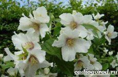 Чубушник цветок. Описание, особенности, виды и уход за чубушником