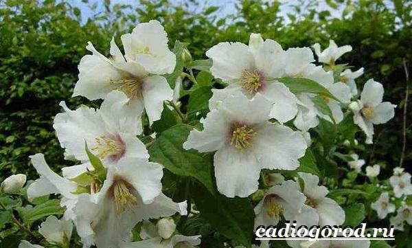 Чубушник-цветок-Описание-особенности-виды-и-уход-за-чубушником-3