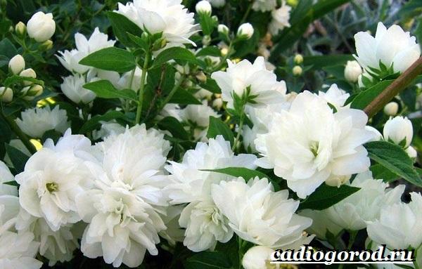 Чубушник-цветок-Описание-особенности-виды-и-уход-за-чубушником-6