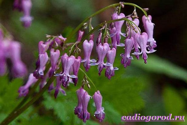 Дицентра-цветок-Описание-особенности-виды-и-уход-за-дицентрой-2