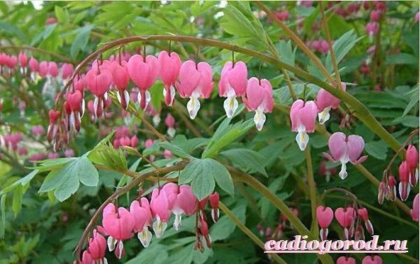 Дицентра-цветок-Описание-особенности-виды-и-уход-за-дицентрой-6