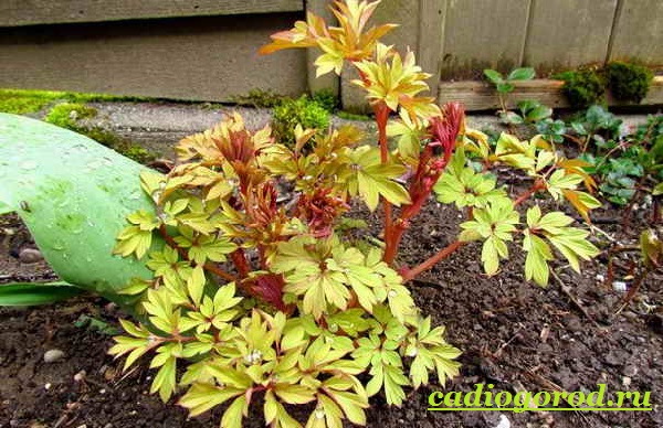 Дицентра-цветок-Описание-особенности-виды-и-уход-за-дицентрой-9