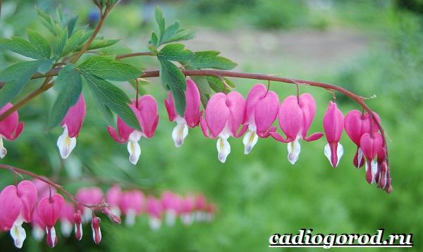 Дицентра-цветок-Описание-особенности-виды-и-уход-за-дицентрой