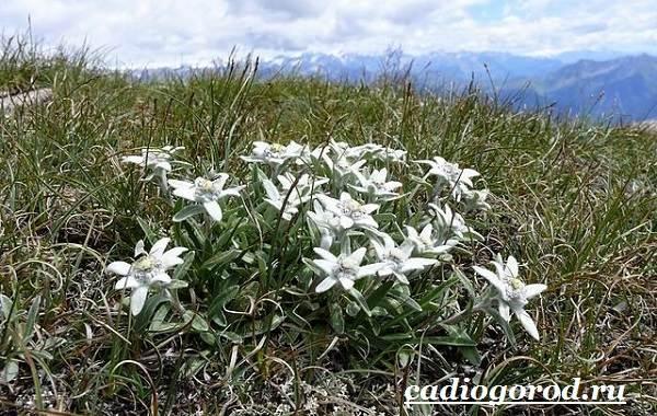 Эдельвейс-цветок-Описание-особенности-виды-и-уход-за-эдельвейсом-1