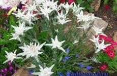 Эдельвейс цветок. Описание, особенности, виды и уход за эдельвейсом