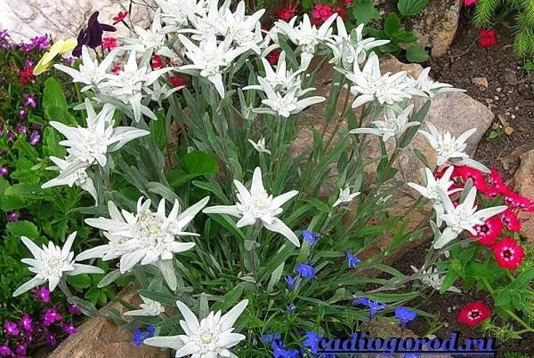 Эдельвейс-цветок-Описание-особенности-виды-и-уход-за-эдельвейсом-11