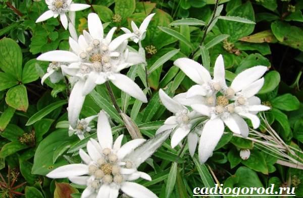 Эдельвейс-цветок-Описание-особенности-виды-и-уход-за-эдельвейсом-5