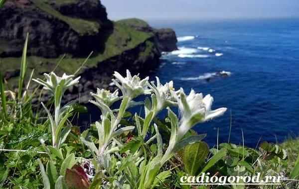 Эдельвейс-цветок-Описание-особенности-виды-и-уход-за-эдельвейсом-7