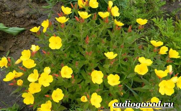 Энотера-цветок-Описание-особенности-виды-и-уход-за-энотерой-11
