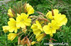 Энотера цветок. Описание, особенности, виды и уход за энотерой