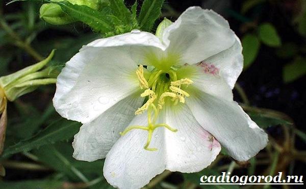 Энотера-цветок-Описание-особенности-виды-и-уход-за-энотерой-16