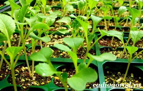 Энотера-цветок-Описание-особенности-виды-и-уход-за-энотерой-19
