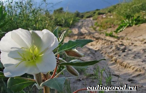 Энотера-цветок-Описание-особенности-виды-и-уход-за-энотерой-4